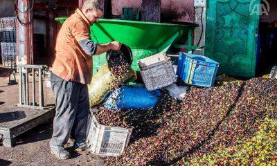 زيادة إنتاج الزيتون بنسبة 41.6% مقارنة مع السنوات 5 الماضية